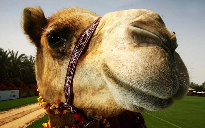 Полиция Абу-Даби пересела на верблюдов Новости, Полиция, Абу-Даби, Верблюды, Традиции, Интересное
