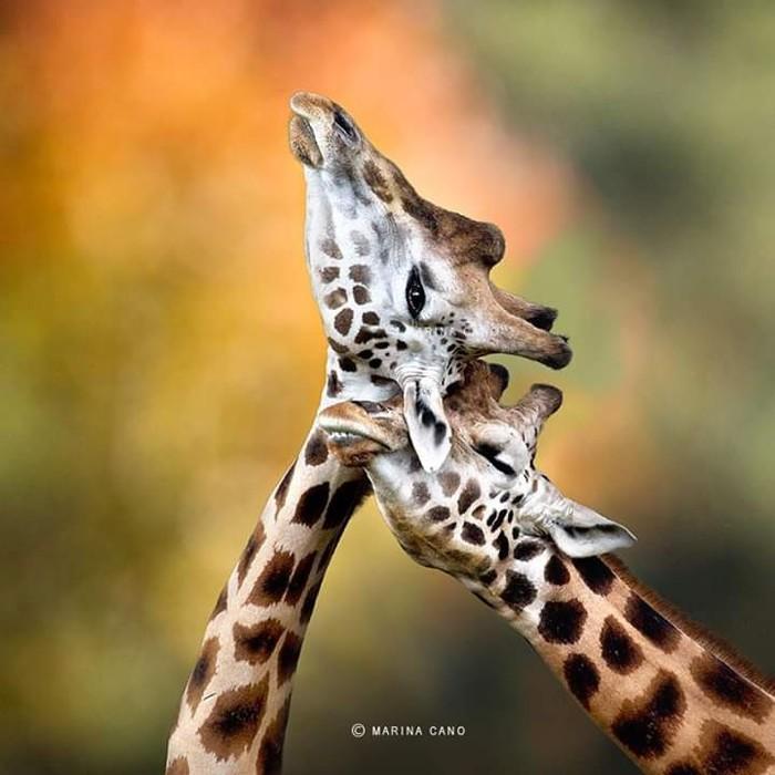 Жирафьи нежности Жираф, Фотография, Милота