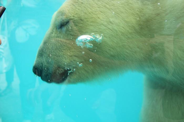 Медведь-поплавок из Пензенского зоопарка. Пензенский зоопарк, Белый медведь, Зоопарк, Длиннопост