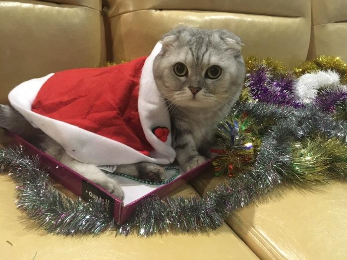 Новый Год настаёт,он у самого порога.... Кот, Шотландец, Длиннопост, Новый Год