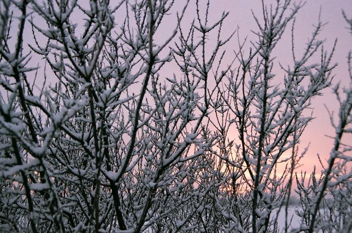 Заснеженный кустарник на закате