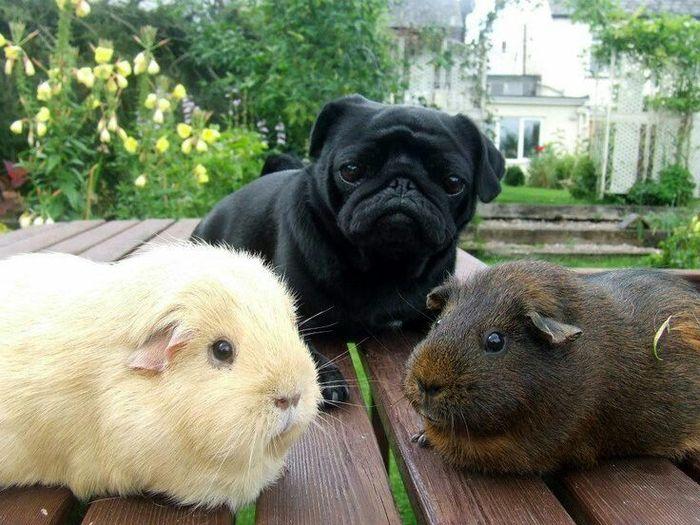 Маленький мопс и его друзья