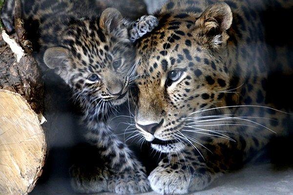 Семейка 2 Большие кошки, Кошачья семья, Детеныш, Леопард, Фотография, Милота