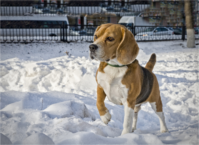 Прощай, год Собаки... Собака, Снег, Бигль