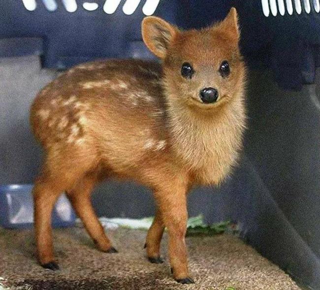 Пуду: Самый крошечный олень в мире Пуду, Олень, Животные, Дикие животные, Книга животных, Зоология, Природа, Юмор, Длиннопост