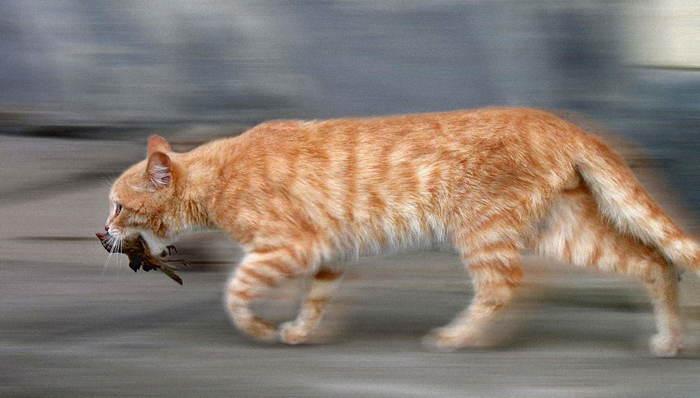 Городской тигр