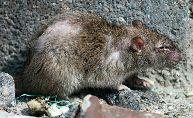 Победители крыс Канада, Крыса
