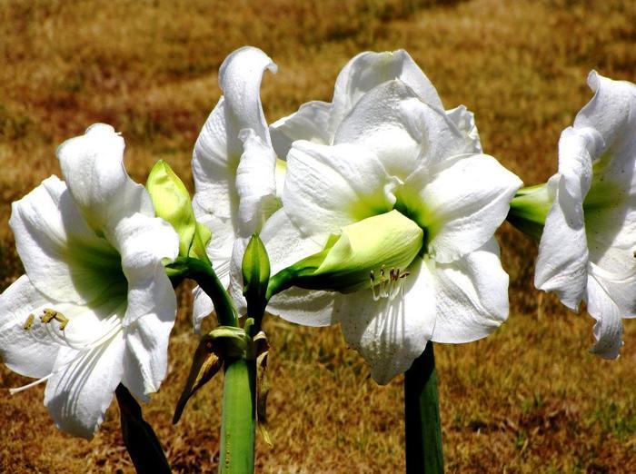 Гиппеаструм - фото, уход в домашних условиях, размножение Гиппеаструм, Комнатные растения, Домашние цветы, Длиннопост