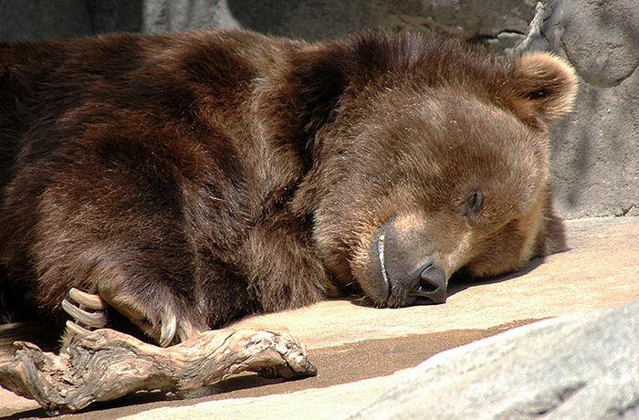 Что происходит с медведем во время зимней спячки? Природа, Животные, Медведь, Зима, Сон