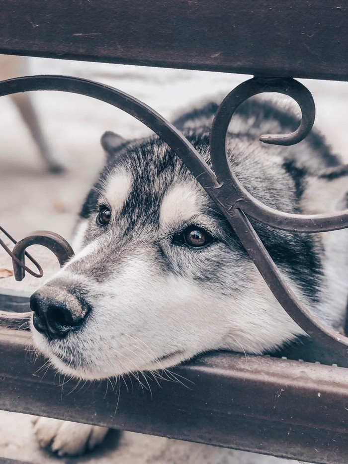 Самая несчастная собака в мире (Нет) Собака, Животные, Хаски, Сибирский хаски, Сочи