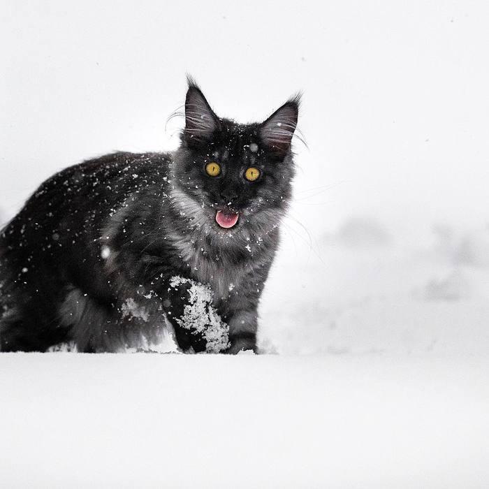 Зима.Мейн-кун. Фотография, Мейн-Кун, Зима, Длиннопост, Кот