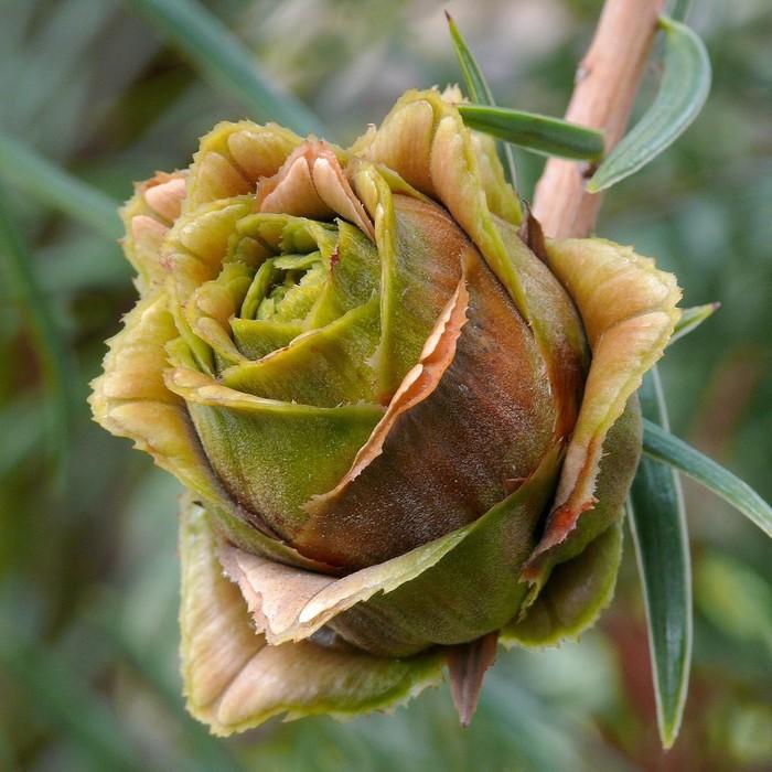 Цветущая шишка Кетелеерия Давида, Ботаника, Шишка