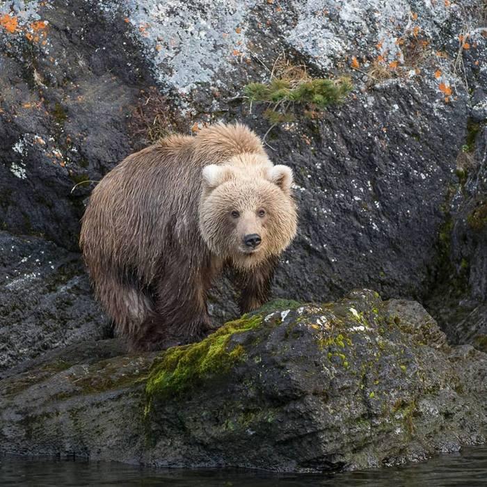 Дикая природа Камчатки. Медведи Камчатка, Медведь, Кроноцкий заповедник, Лиана Варавская, Длиннопост, Фотография