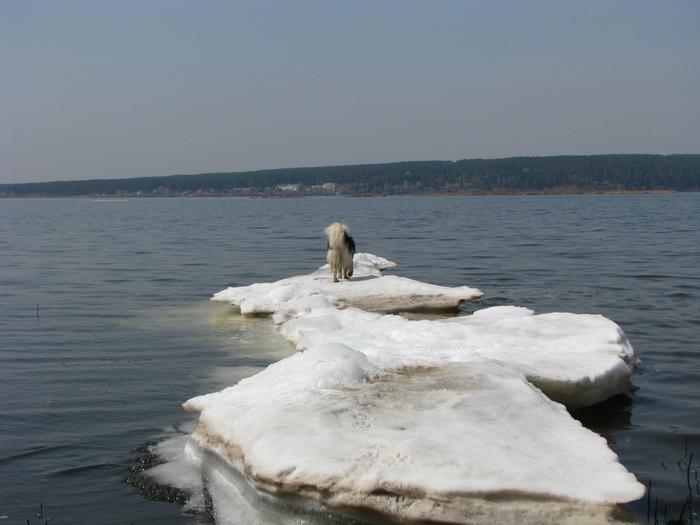 Солнечные ванны Аляскинский маламут, Собака