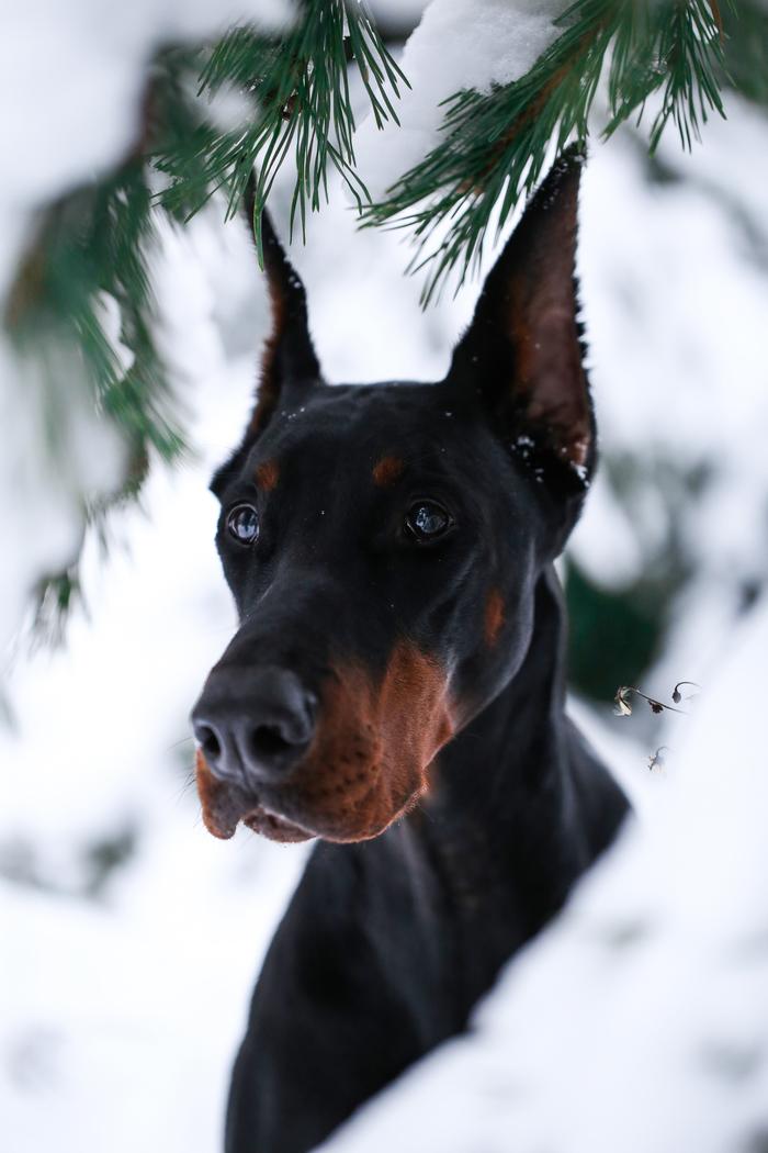 Зимний портрет Доберман, Портрет, Зимнее фото, Собака