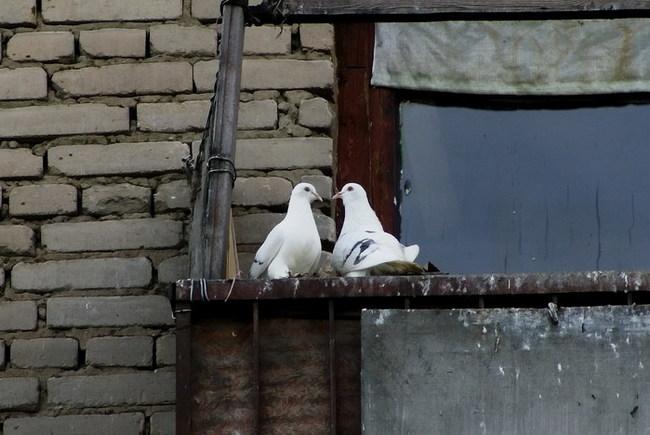 Как избавиться от надоедливых голубей Голубь, Избавиться, Топ, Длиннопост