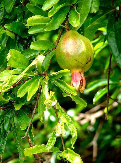 Гранат - можно ли получить плодовое дерево из косточки дома? Гранаты, Комнатные растения, Домашние цветы, Длиннопост