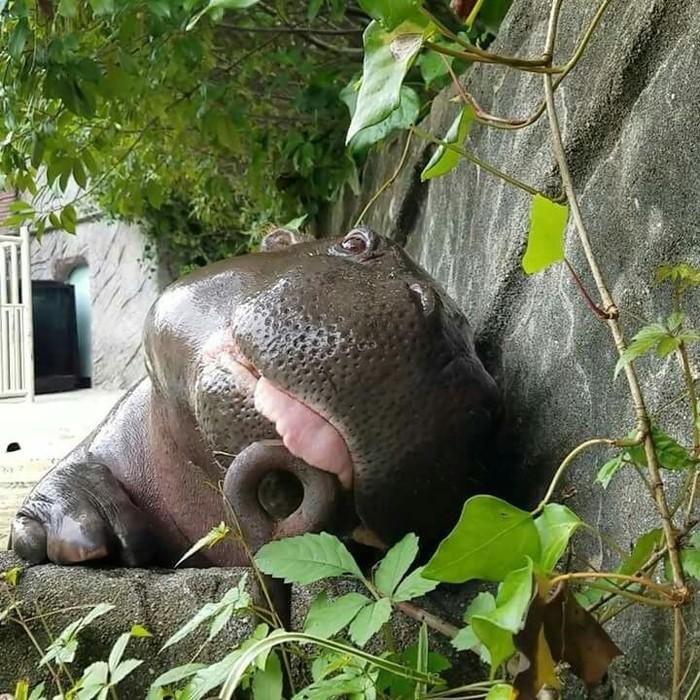 Немного милоты вам в ленту Зоопарк, Бегемот, Малыши, Милота, Длиннопост