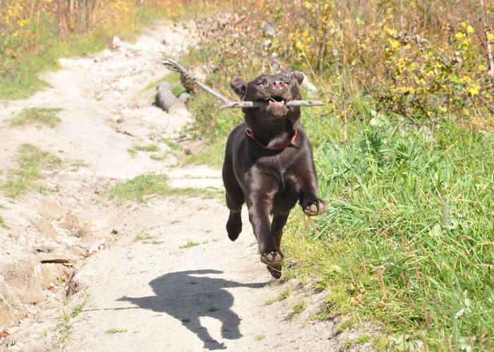 Собачьего полёта пост Милота, Лабрадор, Лето, Веселье, Собака