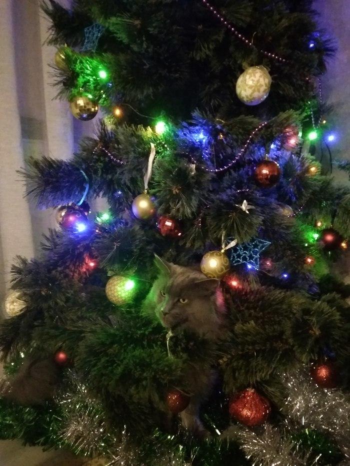 Скоро,  скоро Новый Год! Кот, Новый Год, Подарок, Длиннопост, Новогодняя елка, Фотография