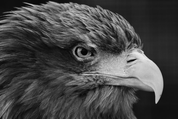 Орёл Орел, Зоопарк, Животные, Черно-Белое фото