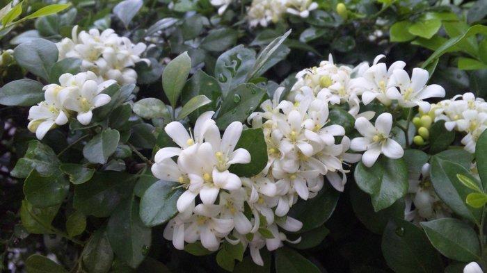 Растение японских императоров Муррайя, Аромат, Цветение, Неприхотливые, Длиннопост