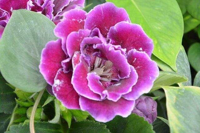 Глоксиния - королева зимнего цветения Комнатные растения, Домашние цветы, Глоксиния, Длиннопост