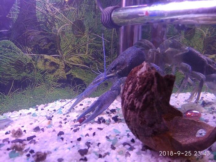 Как я аквариум заводил часть 4 Рак, Аквариум, Не пособие, Рыба, Мраморный рак, Кот, Длиннопост