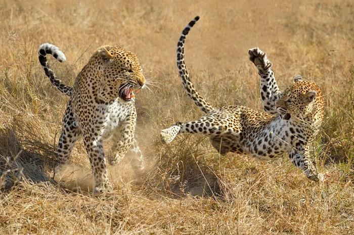 Леопардовые игрища....