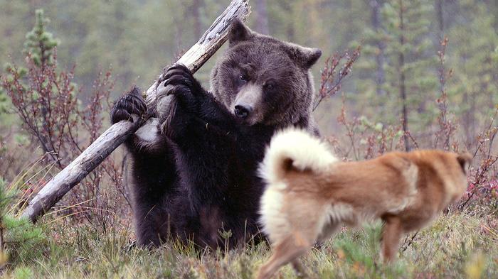 В Озерске медведь убил своего хозяина Медведь, Хищник, Убийство, Происшествие