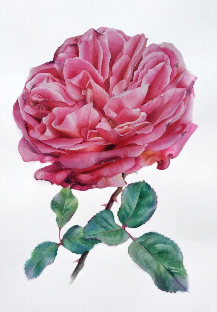 Роза. Акварель
