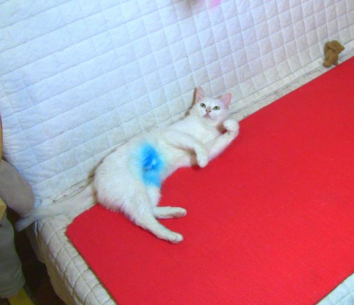 Делюсь радостью (Белла и переливание крови) Кот, Благотворительность, Переливание крови, Ветеринарная клиника, Видео, Длиннопост
