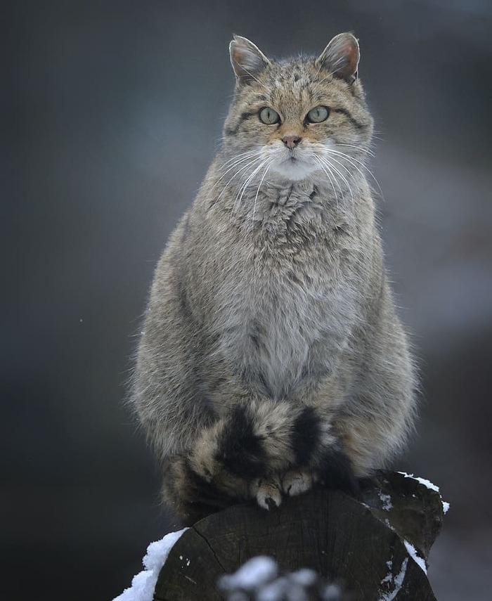 Страж леса Кот, Лесной кот, Милота, Движение за позитивный Пикабу, Кость пушистая