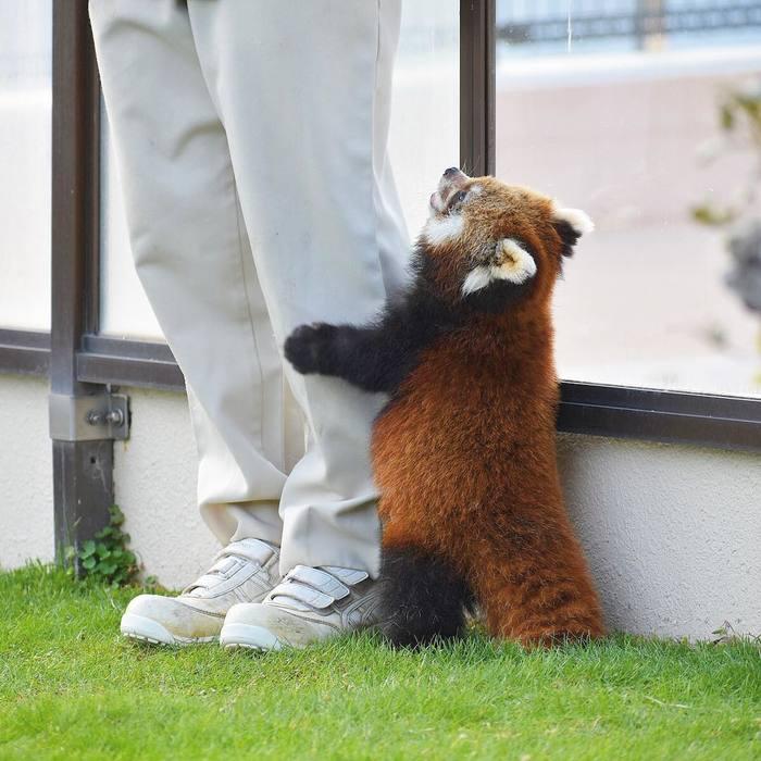 Дай! Красная панда, Милота, Обида, Движение за позитивный Пикабу, Позитив
