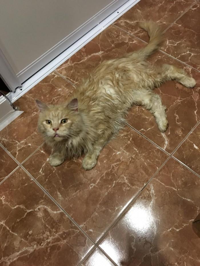 Кот ищет дом В добрые руки, Кот, Видео, Длиннопост, Люберцы, Ищу хозяина, Без рейтинга