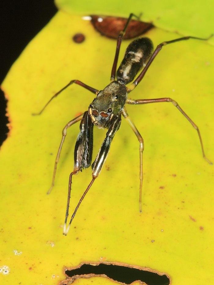 Насекомые мимикрирующие под муравьев Удивительные насекомые, Камуфляж, Маскировка, Муравьи, Богомол, Паук, Жуки, Муха, Длиннопост