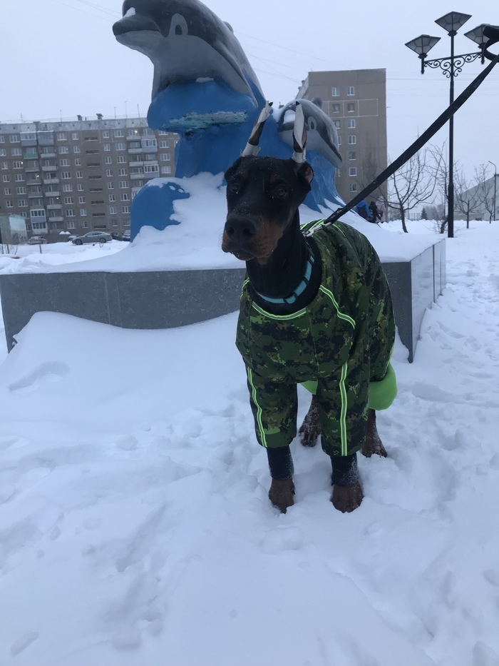 Зимний доберман Собака, Щенки, Доберман, Зима, Снег