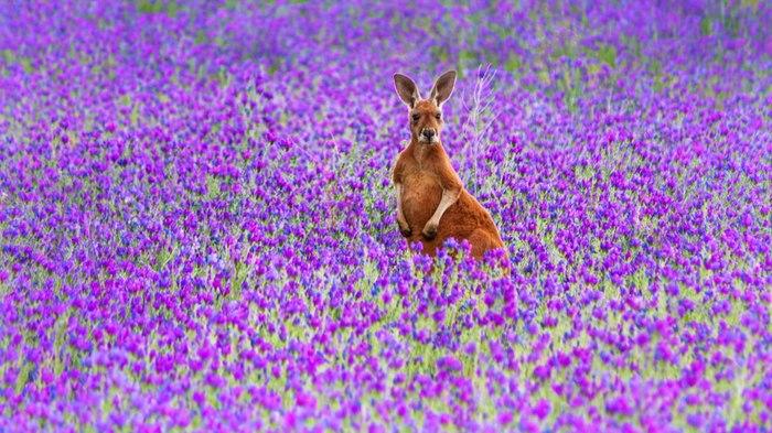 Кенгуру тоже любят цветы