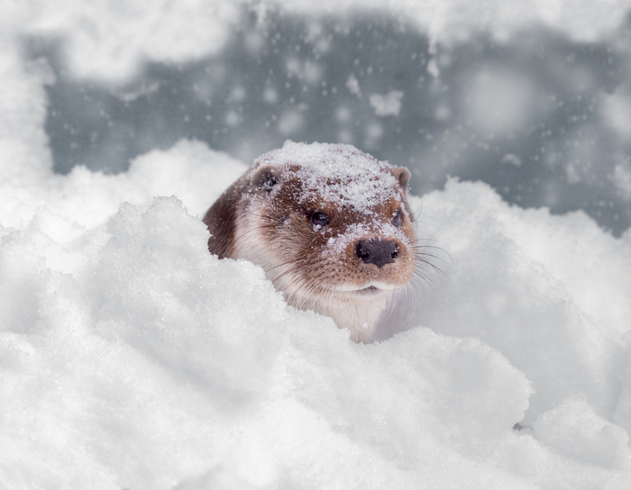 Снежная выдра The National Geographic, Фотография, Снег, Выдра