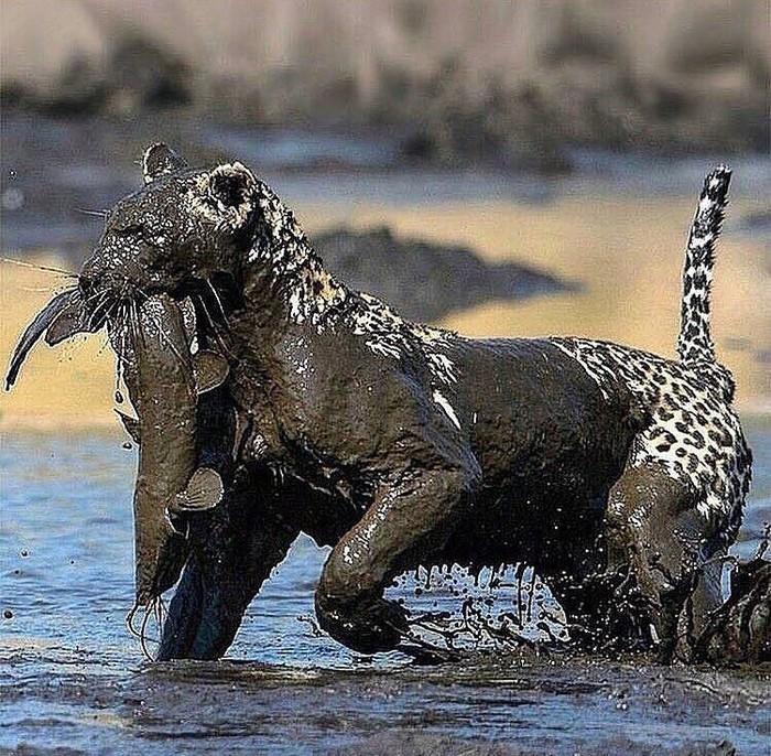 Немного замарался Фотография, Животные, Леопард, Рыба