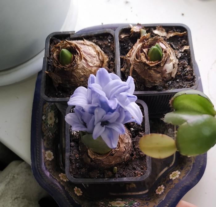 Запах 8 марта Цветок, Гиацинты, Новый Год, Длиннопост