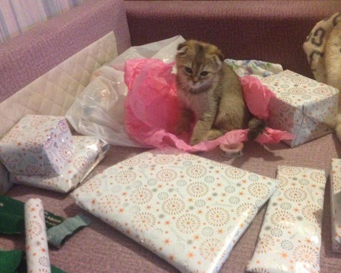Новогодний кот Котомафия, Шотландская вислоухая, Кот, Новый Год, Питомец, Длиннопост