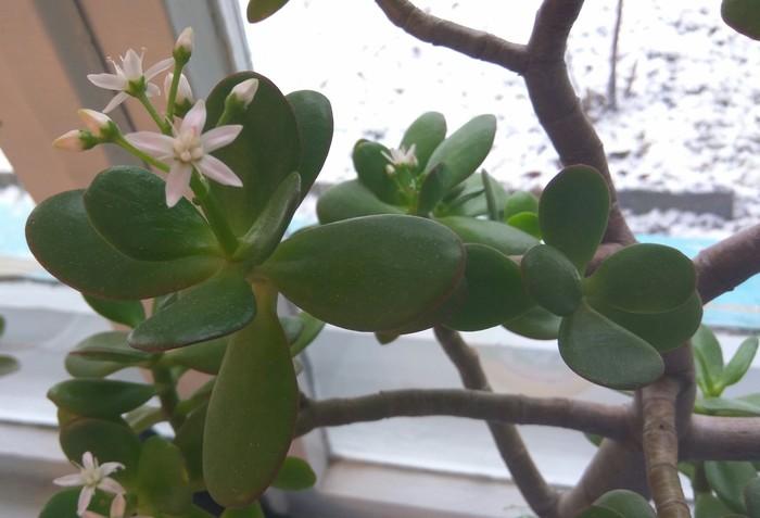 Как цветет денежное дерево Денежное дерево, Цветы, Цветок, Зима