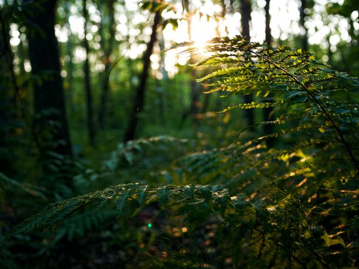 Закат в лесу Фотография, Лес, Закат, Подмосковье, Природа, Длиннопост