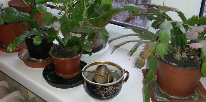 Записки начинающего садовода, или как я выращиваю авокадо. Кот, Длиннопост, Авокадо, Садоводство