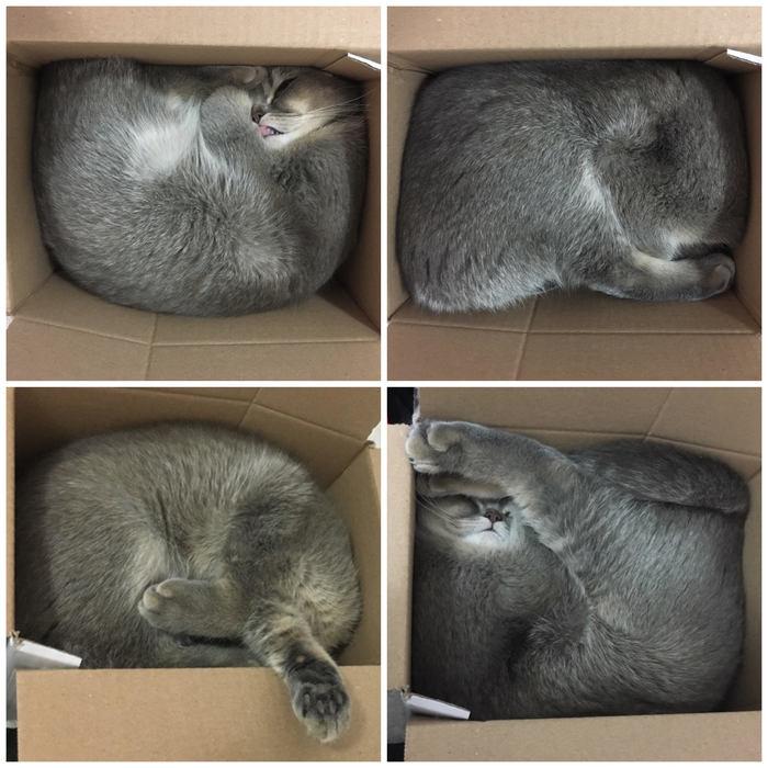 If it fits, I sits. Кот, Коробка и кот, Коты это жидкость, Йога, Шотландская вислоухая
