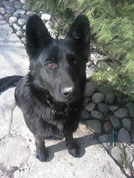 Фотогеничность Собака, Друг человека, Восточноевропейская овчарка, Длиннопост