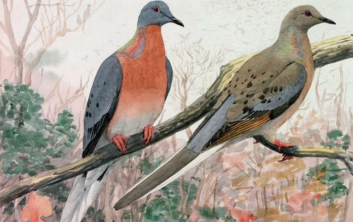 Странствующий голубь: Как уничтожили самую многочисленную птицу на планете Странствующие голуби, Животные, Дикие животные, Защита животных, Природа, Зоология, Книга животных, Орнитология, Длиннопост
