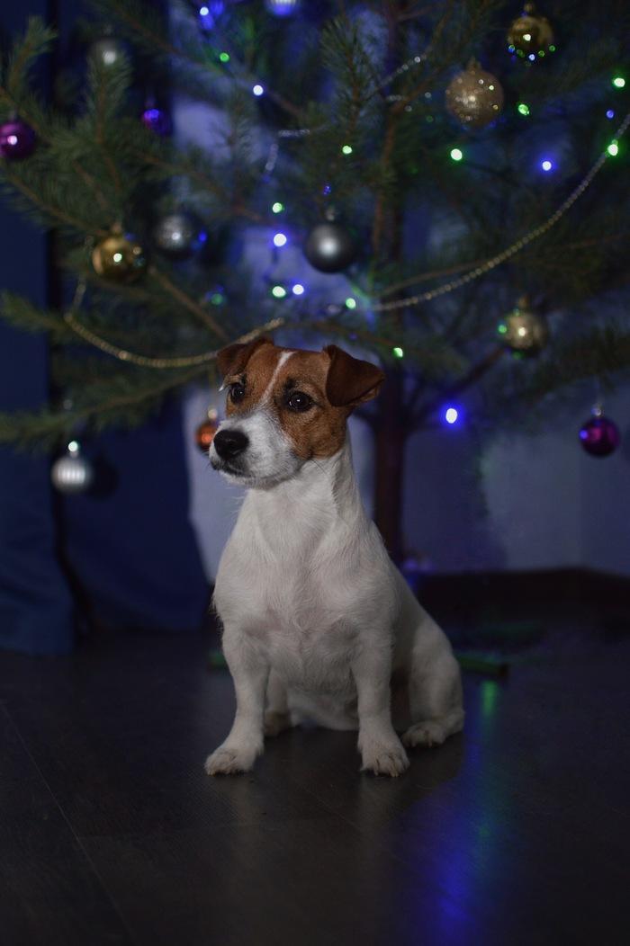 Новогодний Джек-рассел-терьер :) Собака, Джек-Рассел-Терьер, Фотография, Новый Год, Новогодняя елка, Длиннопост