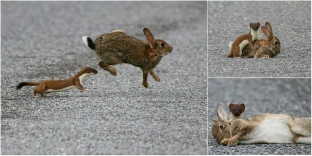 Кровожадный горностай завалил кролика, большего его в четыре раза Горностай, Кролик, Длиннопост